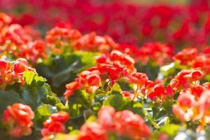 fleur de bégonia photo