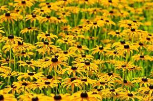 fleurs de Rudbekia