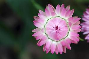 fleur éternelle photo