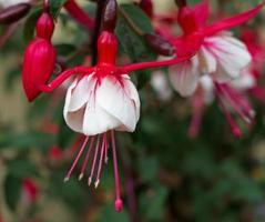 fleurs fuchsia.