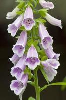fleurs de digitale photo