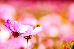 fleurs de chrysanthème photo
