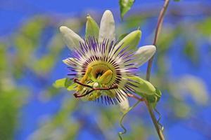 fleur de clématite. photo