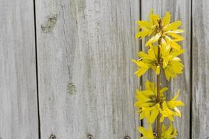 fleurs de forsythia photo