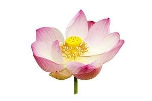 fleurs de lotus. photo