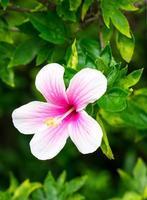 fleur d'hibiscus photo