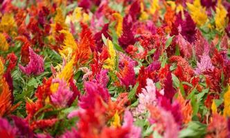 fleurs de crête de coq photo