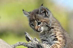 bébé lynx roux photo