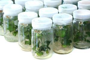 fermer la culture de tissus végétaux photo