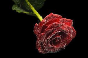 belle rose rouge sous l'eau photo