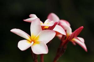 fleur de frangipanier photo