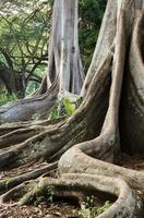 racines de figuier de la baie de moreton