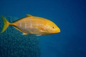 poisson maquereau jaune citron photo