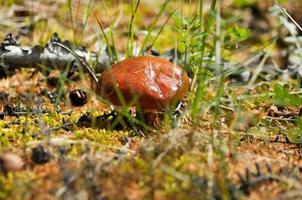 champignons des bois, cèpes. photo