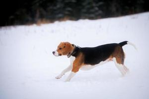 chien beagle intelligent en plein air