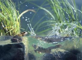 grenouilles dans l'étang photo