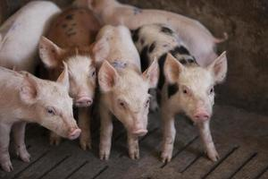 porcs à la ferme photo