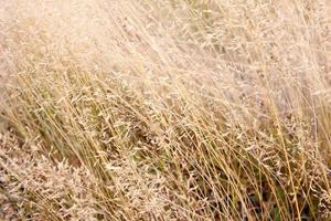 herbe délicate et herbe dans la lumière du soleil du matin photo