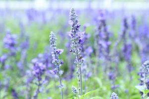 fleurs de lavande violette