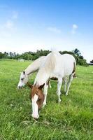 chevaux paissant photo