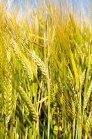 champ de céréales photo