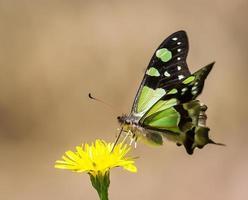 papillon buvant du pollen