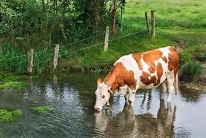 vache boit de l'eau photo