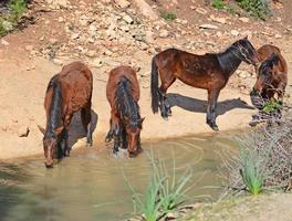 chevaux sauvages à boire photo
