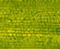 cellules végétales au microscope