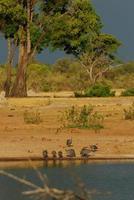 guineafolws boire photo
