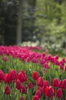 tulipes rouges