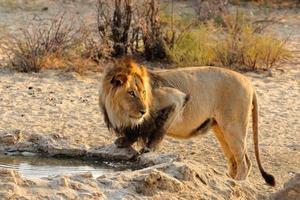 crinière noire lion boire photo
