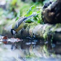 eau potable de mésange charbonnière photo