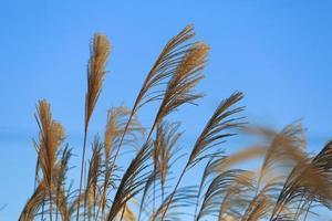 herbe argentée japonaise photo