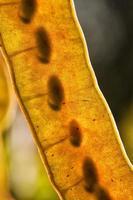 gousses de graines photo