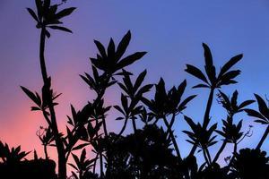 plumeria au temps du coucher du soleil photo
