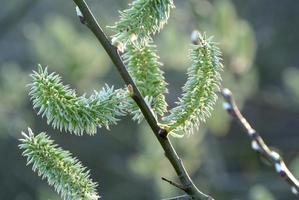 jeune vert tendre au printemps