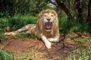 grognement de lion blanc photo