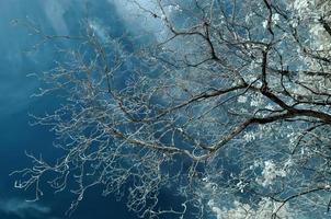 arbre mort isolé sur fond blanc, pris dans le proche infrarouge