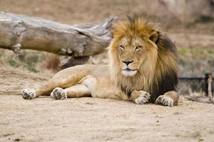 lion à crinière noire africaine photo
