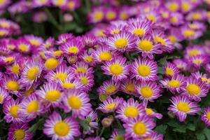 fleur rose chrysanthème dans jardin photo