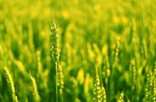 champ de blé au soleil.