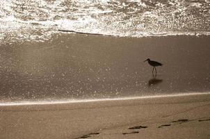 bécasseau, oiseau de rivage sur la plage photo