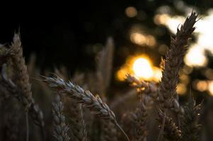 coucher de soleil dans le champ de blé photo