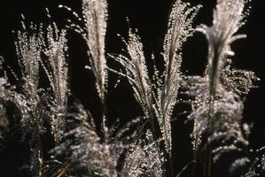 herbe de la pampa japonaise à la fin de l'automne