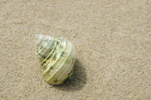 plage, pétoncle photo