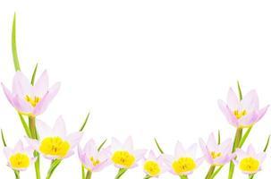 bannière de tulipe avec espace copie. isolé sur blanc.
