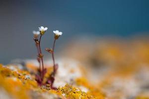 Fleurs de roche blanche sauvage - mise au point sélective, espace copie