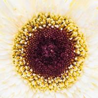 gros plan fleur de gerbera photo