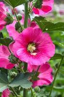 gros plan rose trémière rose
